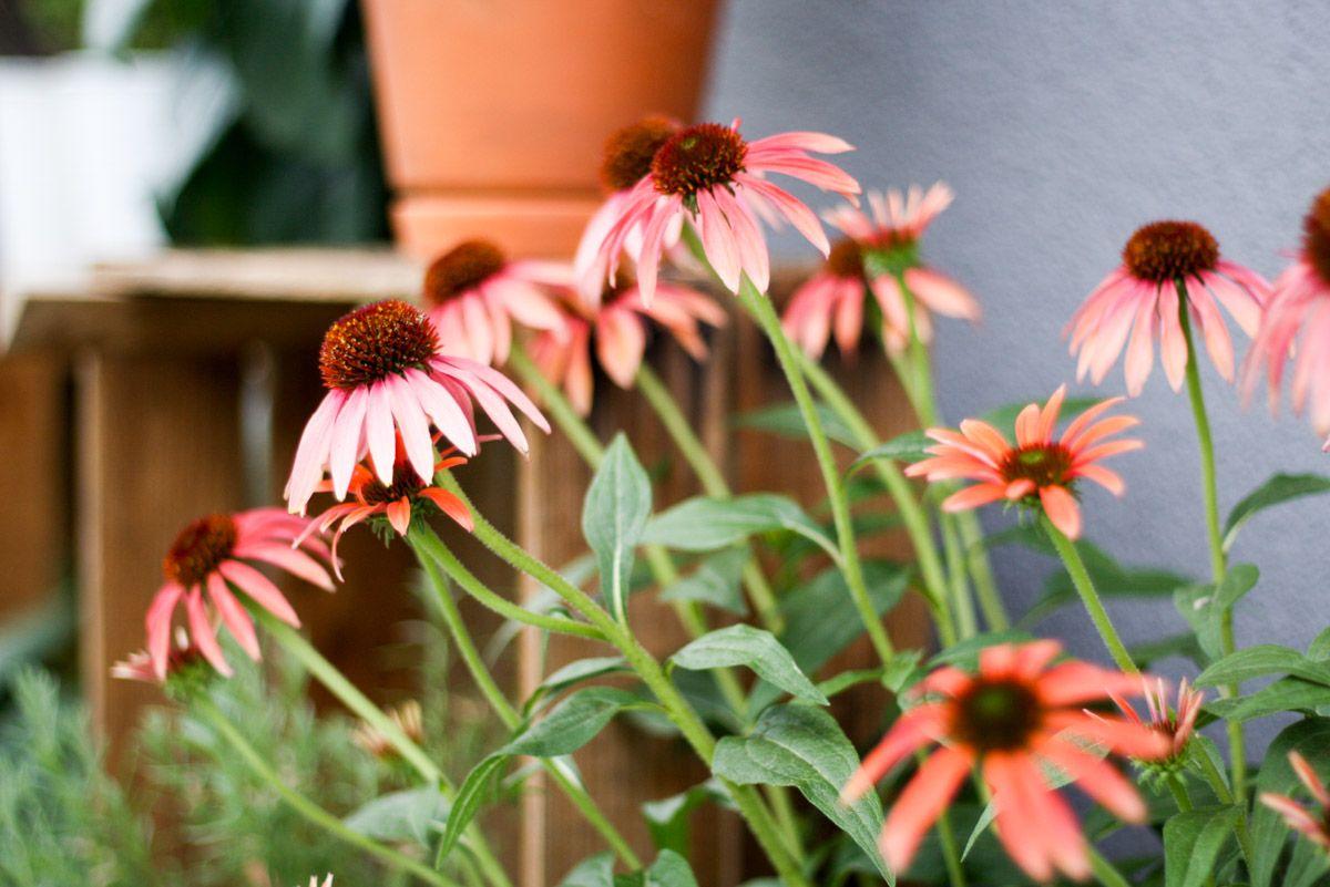 Wie meine Balkonpflanzen und ich die Hitze überstehen. 3 Tipps