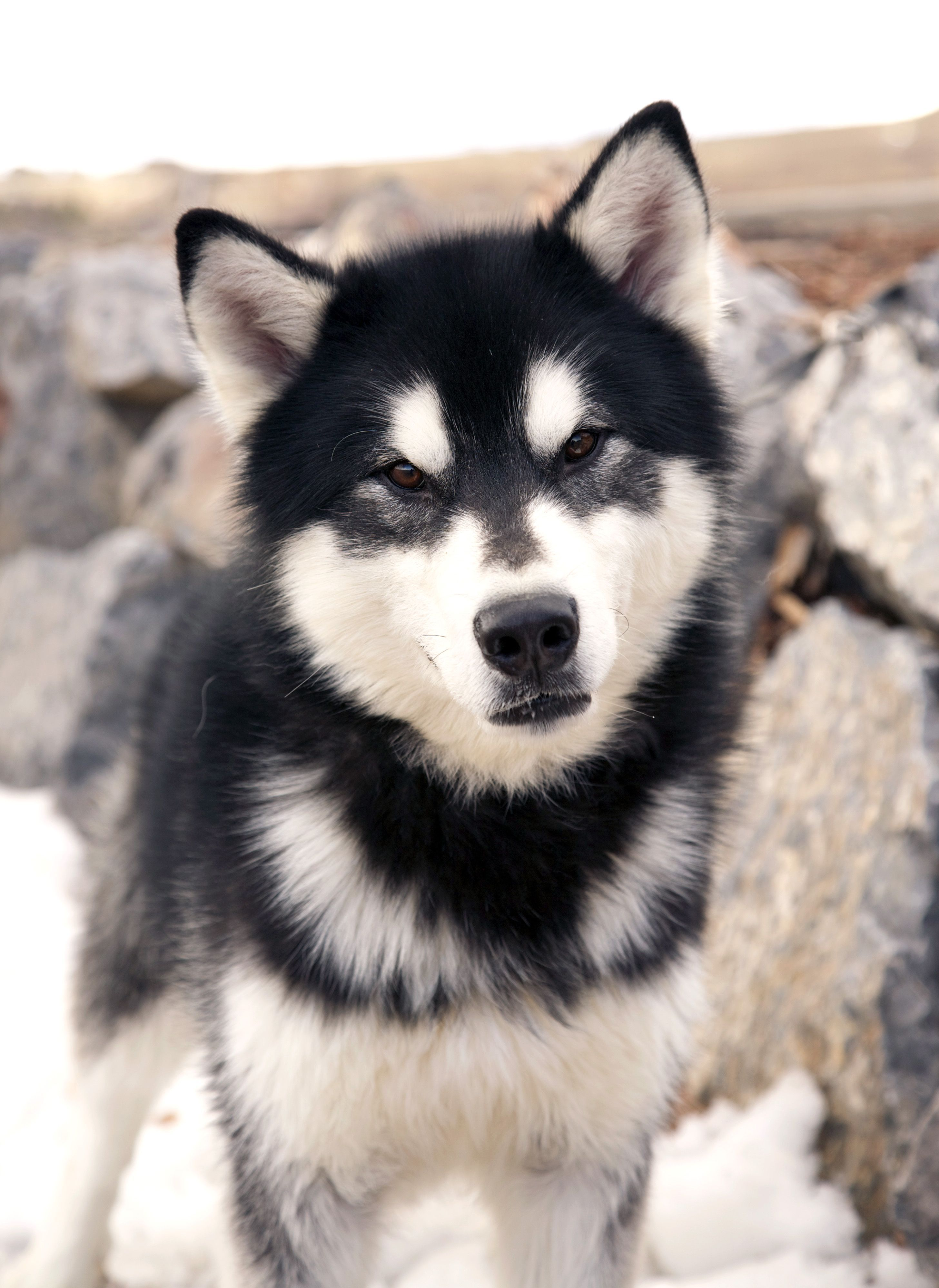 Boulder Is A Beautiful Young Alaskan Malamute Who Is Looking For