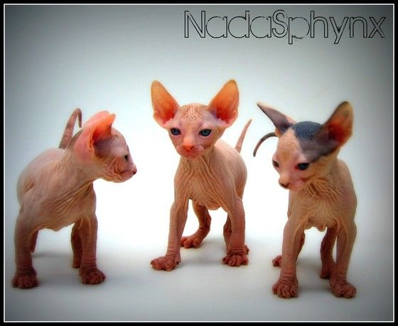 Sphynx kittens for sale, NADA Sphynx and Devon Rex, Rescue