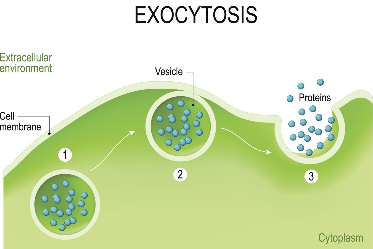 Steps of Exocytosis | Cell membrane, Human anatomy and ...