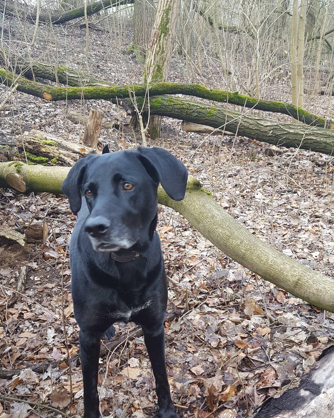 Grusse Von Nachmittagsrunde Vor Lauter V Labrador Retriever Dogs