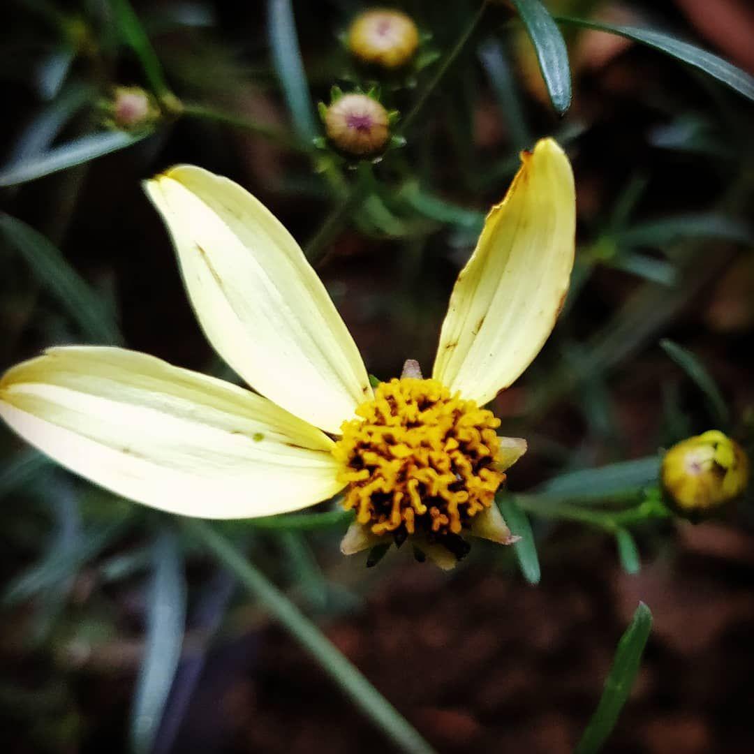 Coreopsis  Filtre : Hefe #flowers #gardening #potager #jardin #bouture #potagerbio #garden #plantes #insecte #vegetableg...