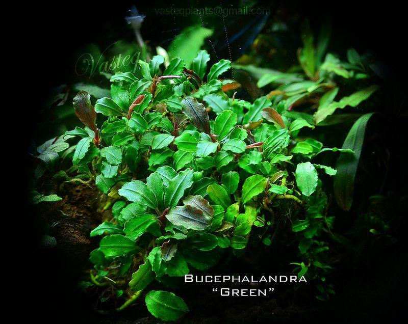 """Bucephalandra """"Green""""   Flickr - Photo Sharing!"""