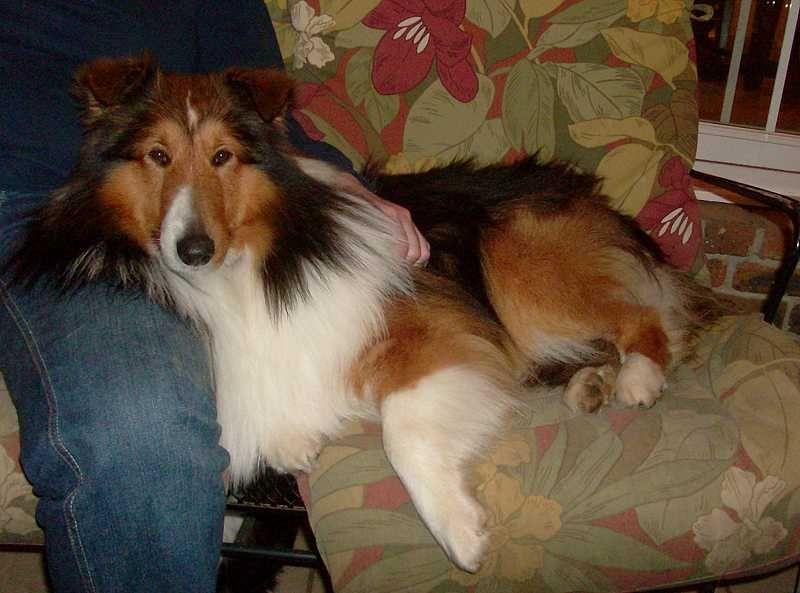 Illinois sheltie rescue Dog friends, Sheltie, Dog lovers