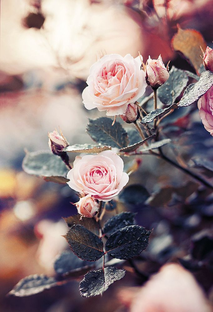 pink roses. #flowers #rose #nature #photography #inspo #inspiration #autumn #makro #colors #pastel #beautiful #autumnwallpaper