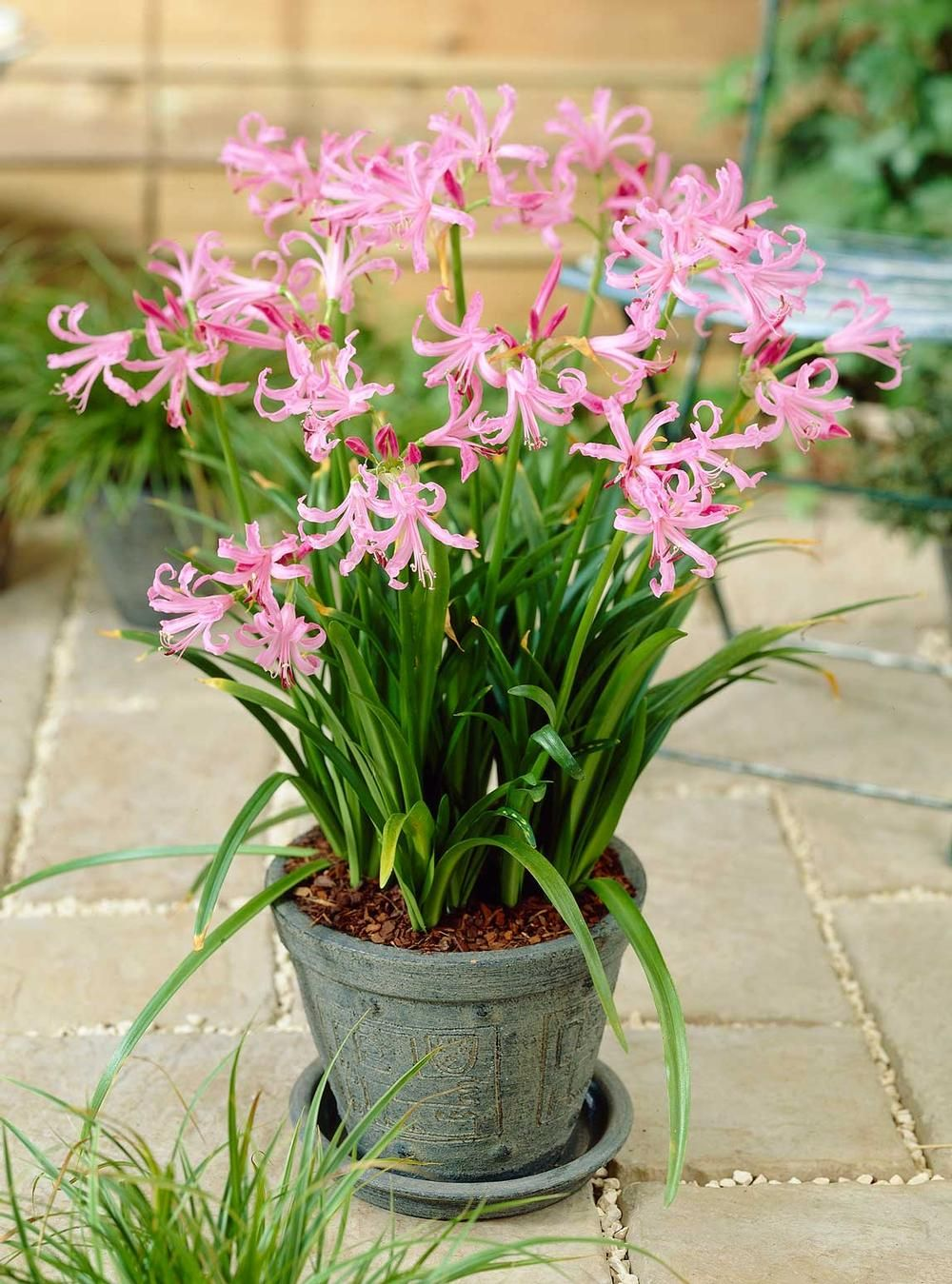 Best Summer Bulbs For Containers Nerine Bowdenii Is A Fall