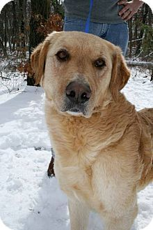 Jackson Nj Golden Retriever Chesapeake Bay Retriever Mix Meet