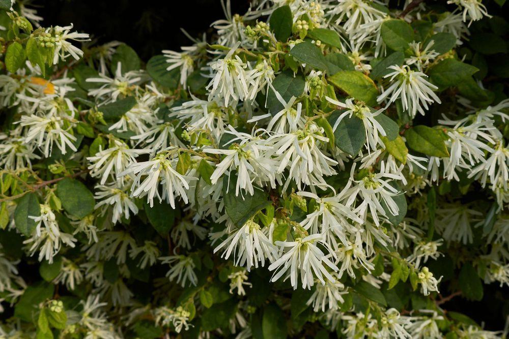 Arbuste Resistant Au Froid Exemples Arbuste Grand Jardin Et