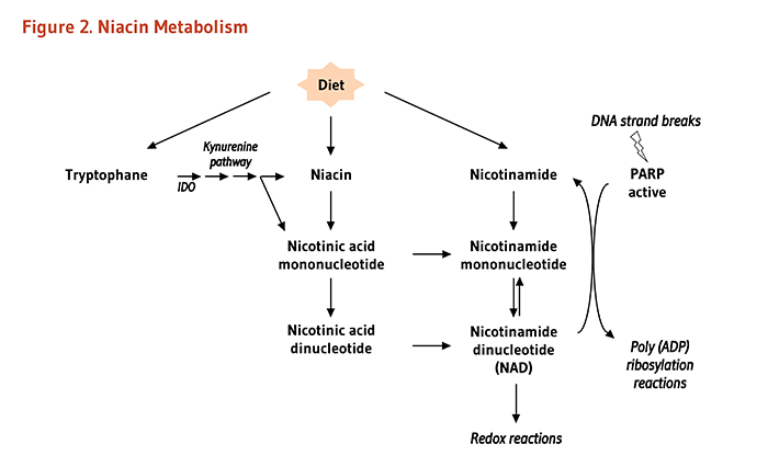 Niacin metabolism and vitamins figure 2 niacin metabolism as explained in the article text nad can be malvernweather Gallery