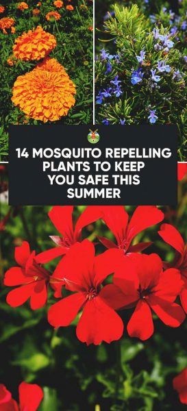 14 Mosquito Repelling Plants to Keep You Safe this Summer #controlpestsingarden #mosquitoplants