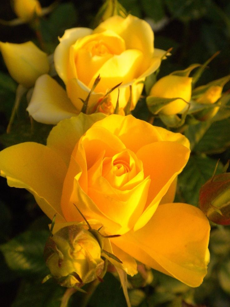 Beautiful yellow roses | Garden~variety | Pinterest | Yellow roses, Flowers and Flower