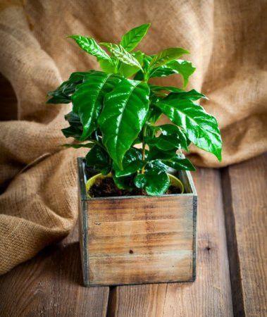 Dwarf Coffee Plant Seeds Coffea Arabica Nana コーヒーの木 観葉