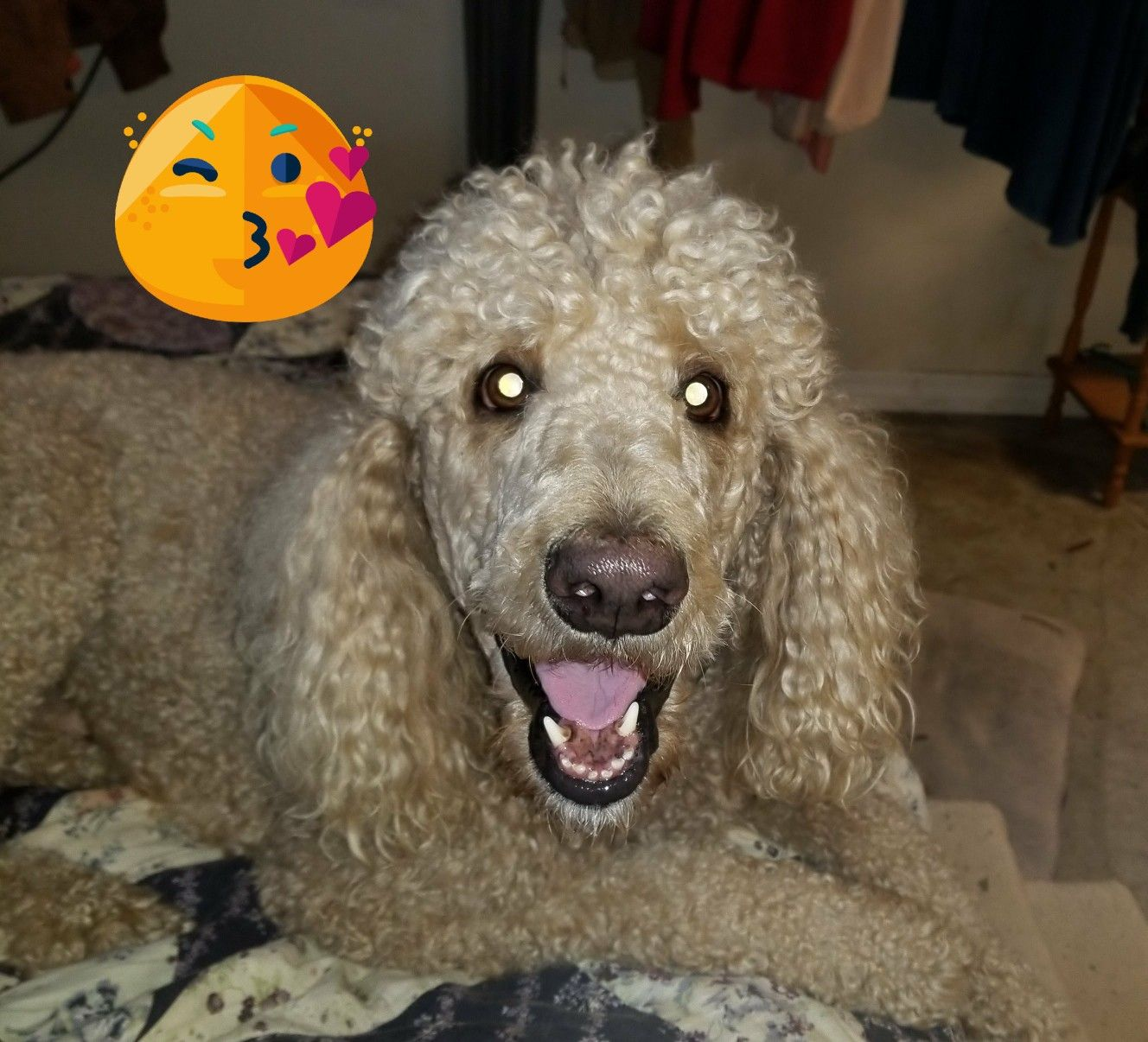 Red Standard Poodle Puppies Florida Ideas