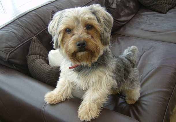 10 Dogs That Don T Shed For The Lazy Owner Dog Breeds That Dont Shed Yorkie Terrier Dog Breeds