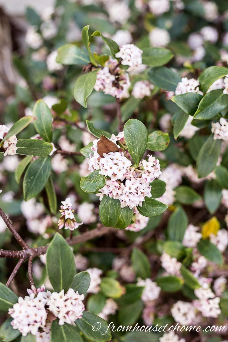 The Best Perennials And Shrubs For Early Spring Flowers Pinterest