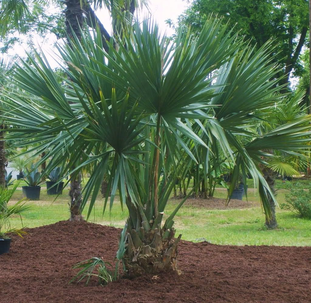 Dwarf Blue Palmetto Palm Sabal Minor Dwarf Palmetto Blue