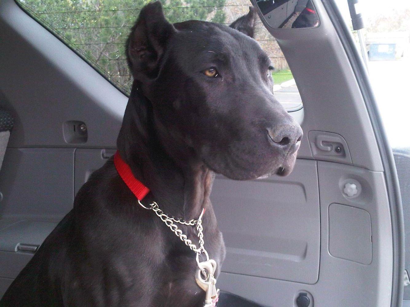Donovan Pinscher Aka Canis Panther Favorite Dog Breeds