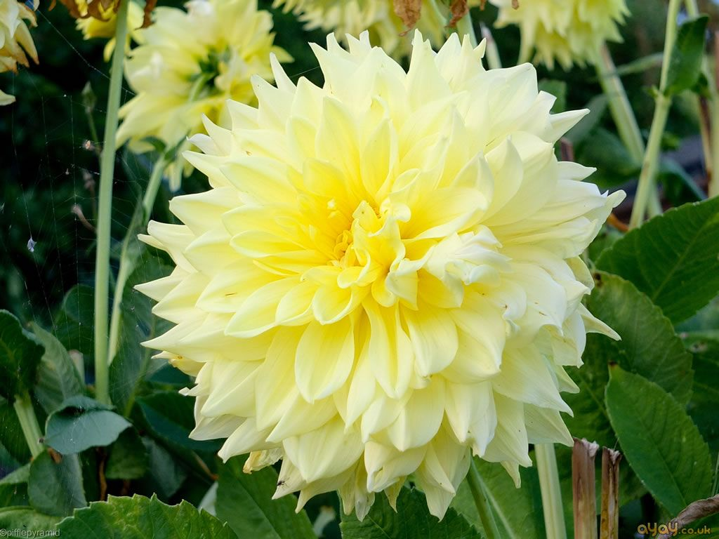 Yellow dahlia white and yellow midsummer flowers uk pinterest yellow dahlia izmirmasajfo