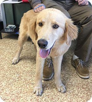 Santa Ana Ca Golden Retriever Labrador Retriever Mix Meet Bob A Puppy For Adoption H Golden Retriever Golden Retriever Labrador Golden Retriever Adoption