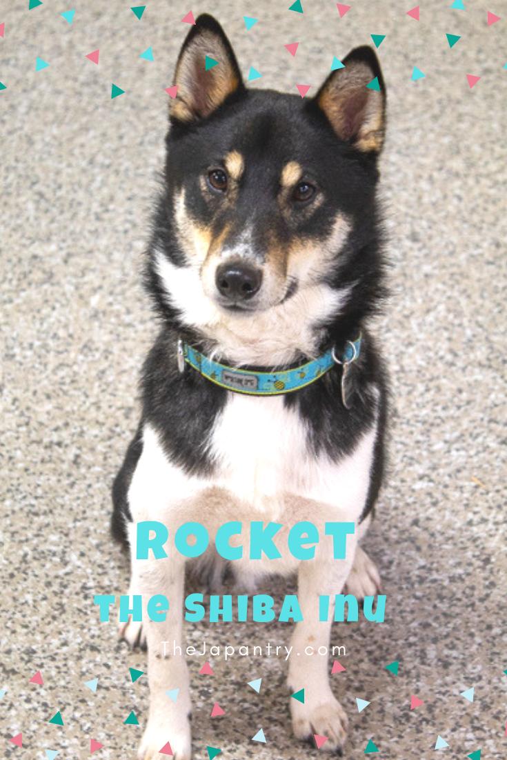 About Rocket The Shiba Inu I The Japantry Shiba Inu Japanese