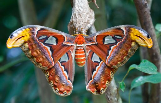 Giant Atlas Moth One Of The World S Largest Insects And Usually Seen In Malaysia And South East Asia A Foot Long One Was Found In Lancashi Tiere Seen Und Motte