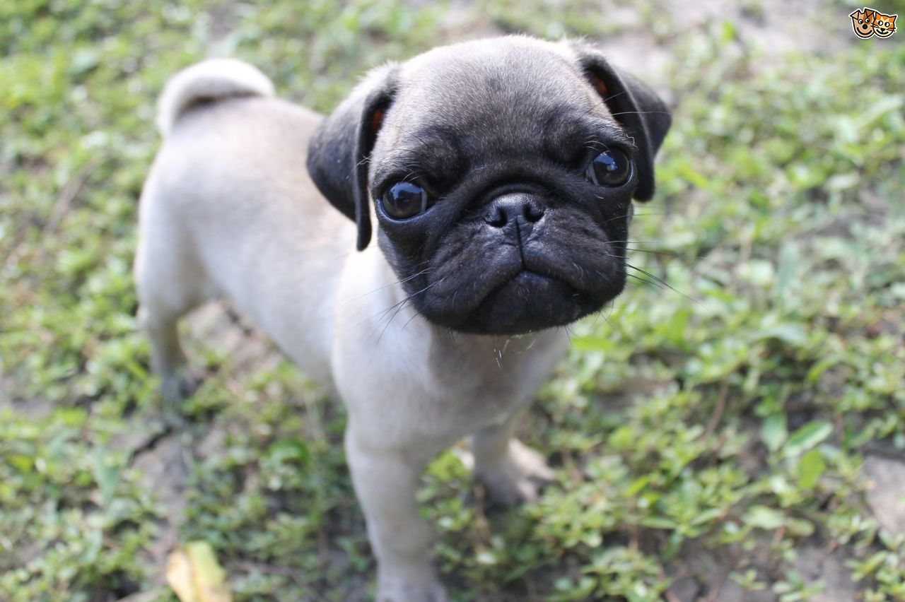 Pugs And Breathing Issues Vizsla Puppies Pugs Puppy Breeds