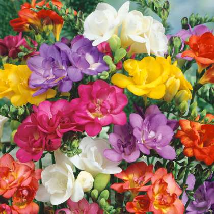 Freesia Double Mixed Garden Express In 2020 Freesia Beautiful Flowers Flowers