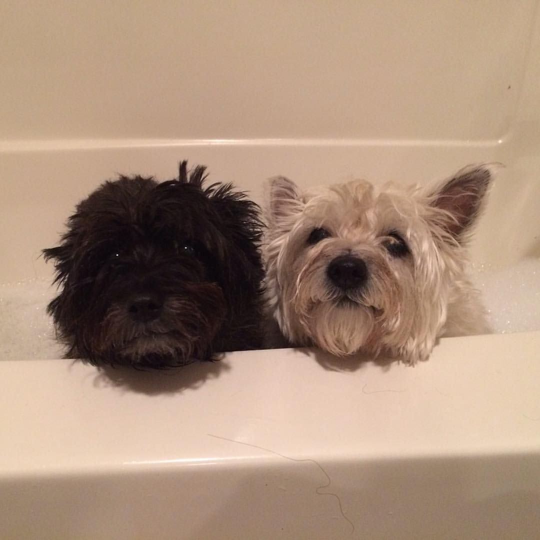 Bath Night Cairnterrier Latergram Nofilter Cairn Terrier