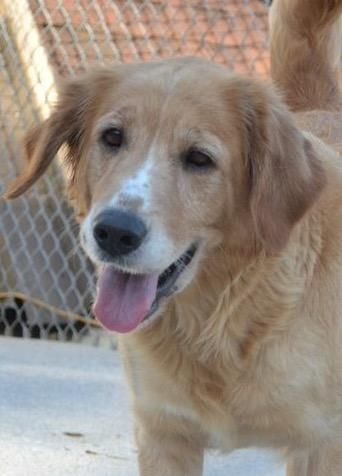 Meet Sandy A Petfinder Adoptable Golden Retriever Dog Knoxville