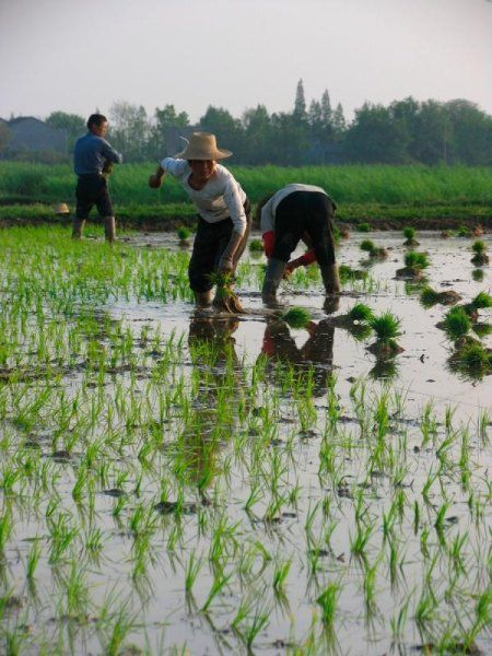 Growing More Rice With Less Water Nature Reserve Nature Forestry