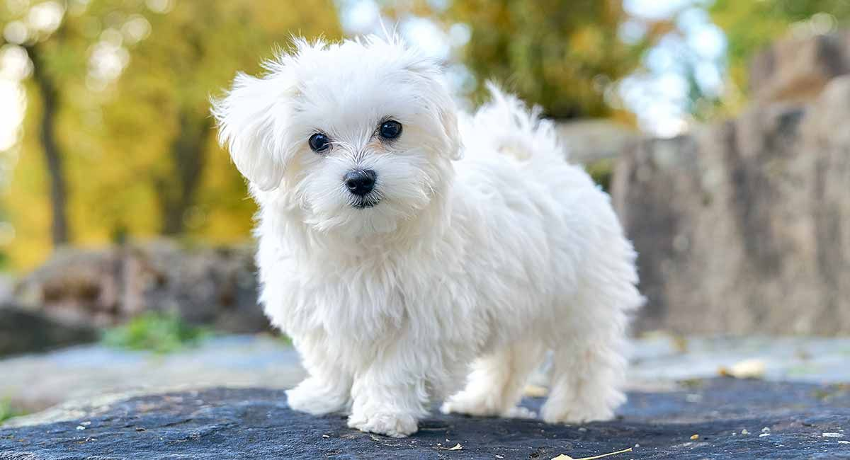 The Maltese Is An Absolutely Beautiful Toy Breed That Can Melt The Heart Of Any Dog Lover But How Long Is The Averag Maltese Dog Breed Dog Breeds Maltese Dogs
