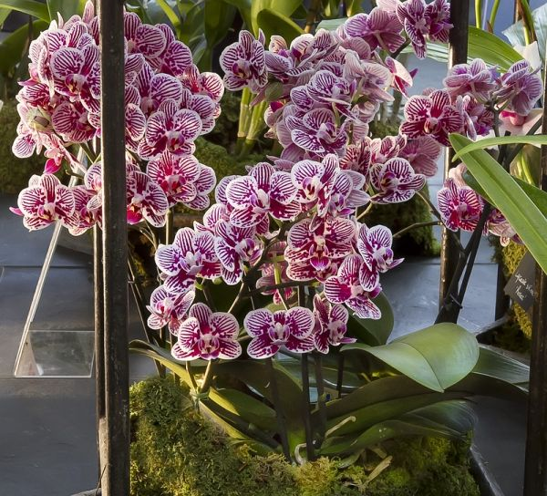 Orchids Phalaenopsis Little Zebra Phalaenopsis Orchid Care Growing Orchids Beautiful Orchids