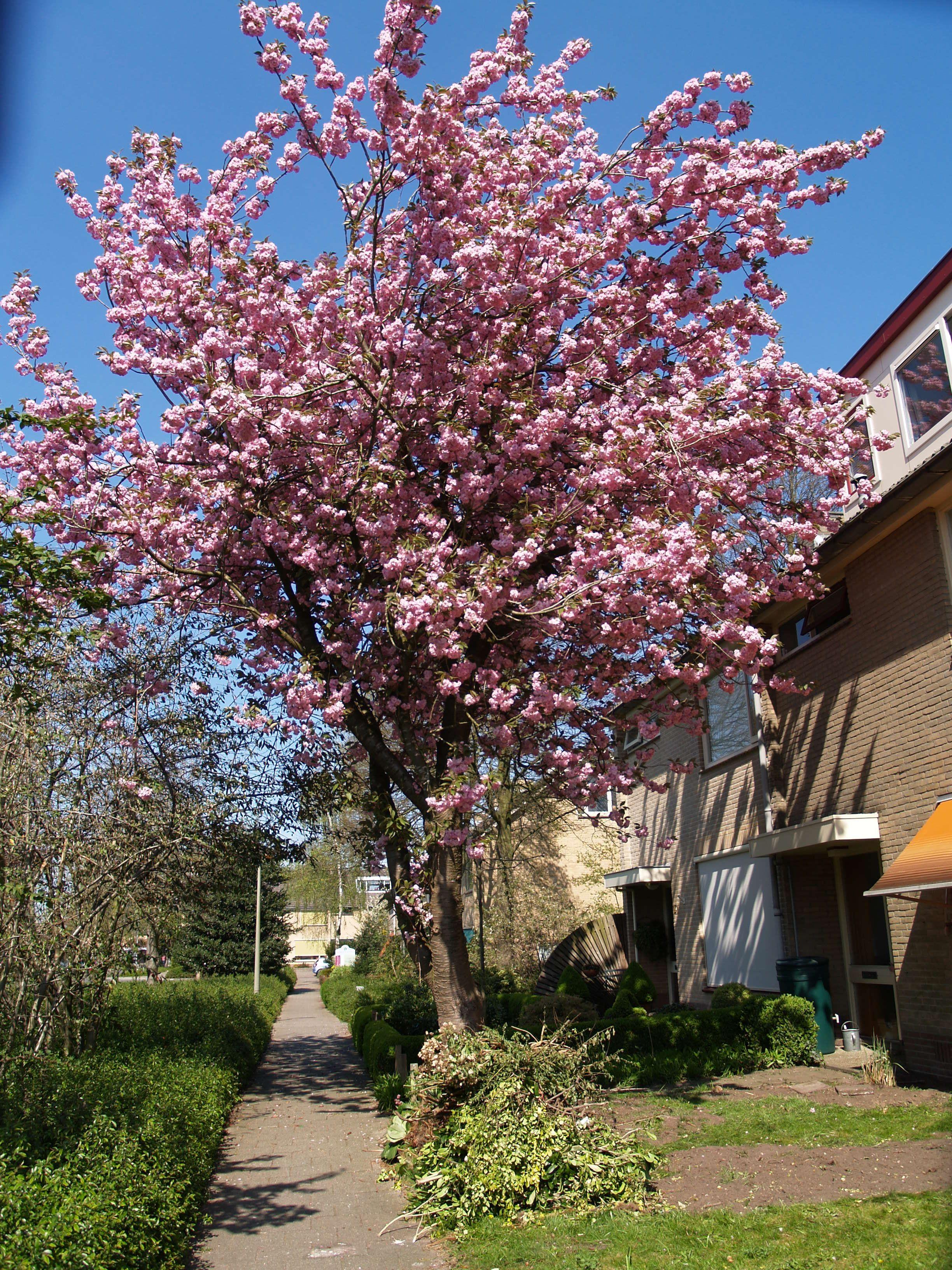 prunus serrulata japanse sierkers garden pinterest. Black Bedroom Furniture Sets. Home Design Ideas