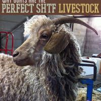 In a situation where you are looking to prep for maximum self-sufficiency, you are probably considering adding livestock to your plans. Properly managed and raised, livestock can provide generations' worth of value to your homestead. Raising goats, chickens and other livestock is an essential part of homesteading.      To get the