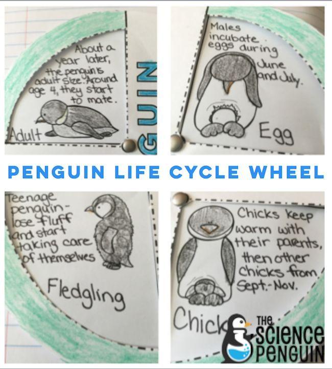 Free printable- penguin life cycle wheel for your polar animals unit