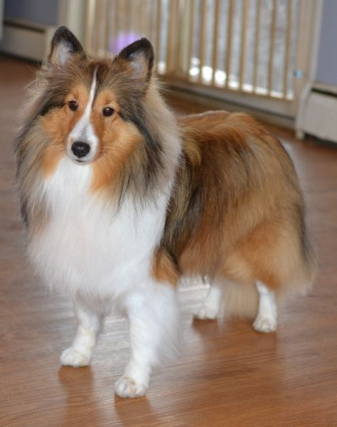 Sable Sheltie Color Is One We All Know And Love Sheep Dog Puppy Shetland Sheepdog Puppies Shetland Sheepdog