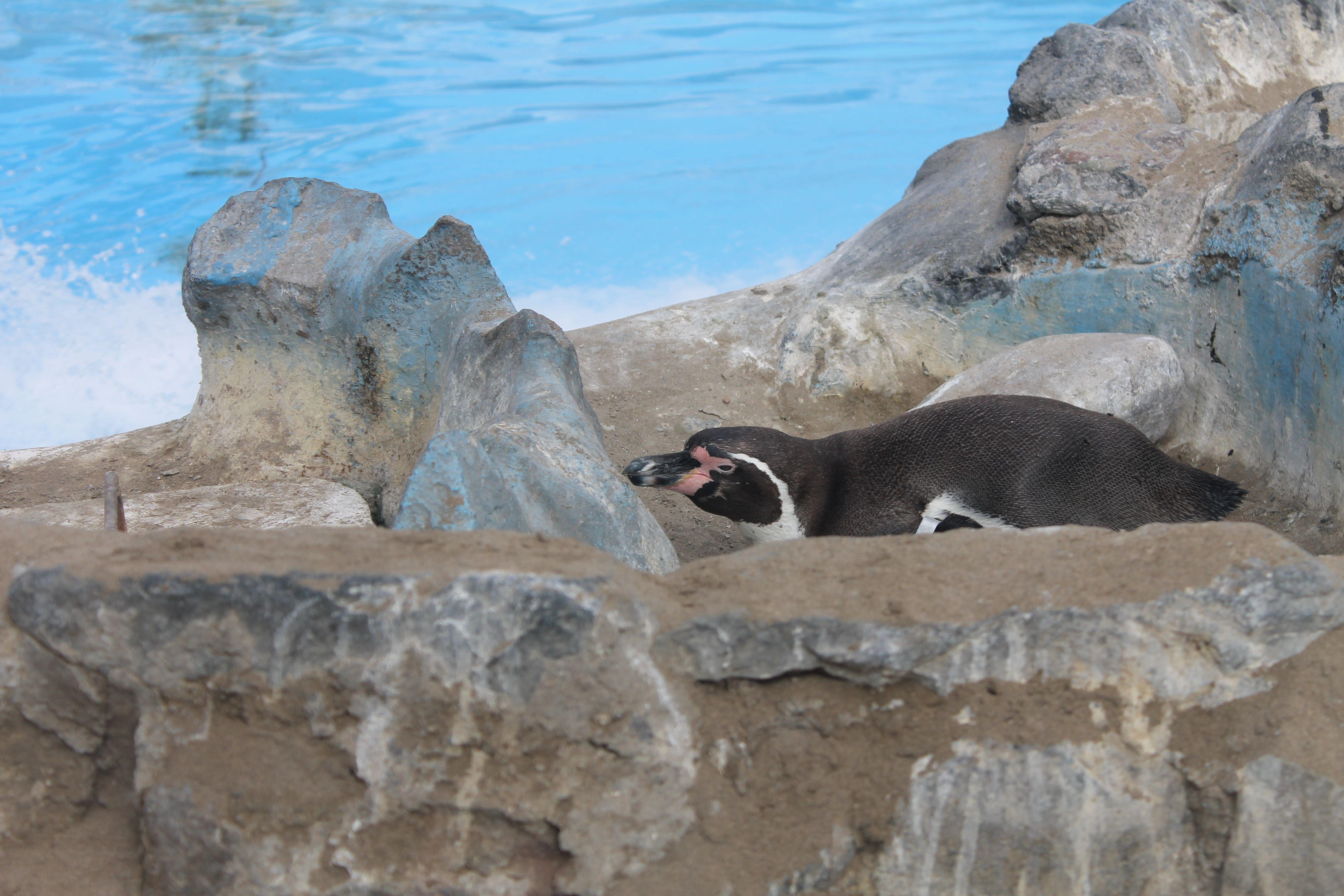 Pingüinos ♥ Está muy lindo. Ley de la mirada. Ley de tercios. #foto #pingüino #bonito #zoo