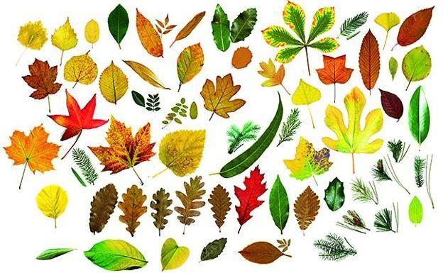 Cuántas hojas de árboles eres capaz de identificar?