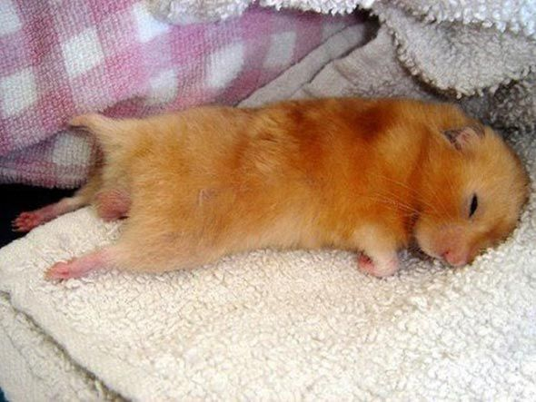 How to Care For a Hamster   WishForPets  Cute Baby Hamsters Sleeping