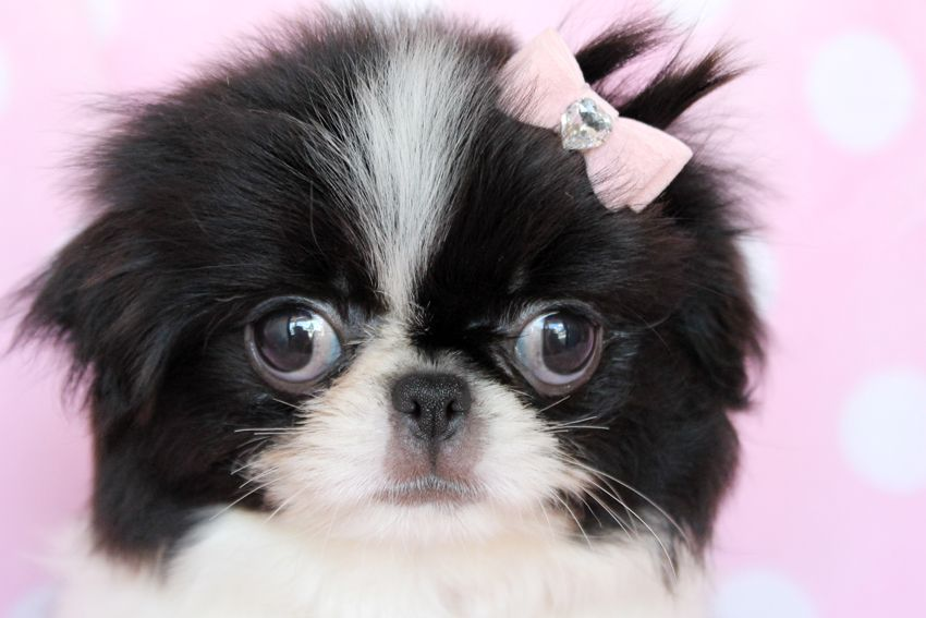 Http Doglers Com Wp Content Uploads 2014 12 Japanese Chin Face