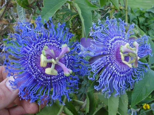 Passiflora Passion Flower Temptation X Temptation Rare Passionsblume Seltene Blumen Blumensamen