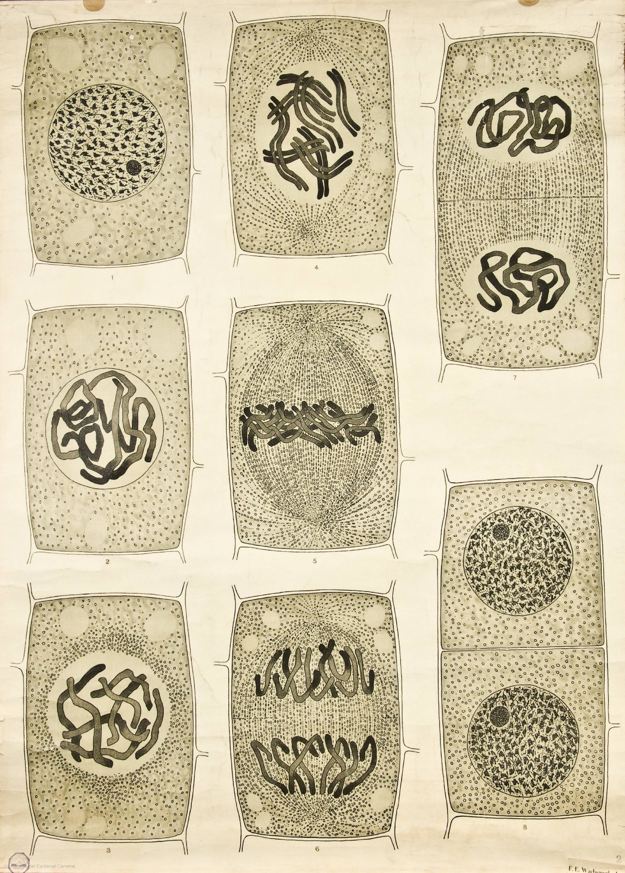Visualising the Cell Nucleus -- Anatomia Vegetal 1929, pub. by FE ...
