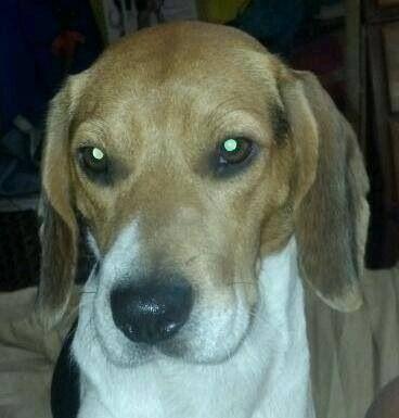 Lostdogs Jacksonville FL Ricker Rd Two male Beagles