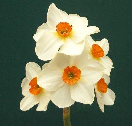 Geranium Daffodil 2011 Smell Wonderful And Very Long Lasting Personal Favorite Daffodil Flower Spring Perennials Daffodils