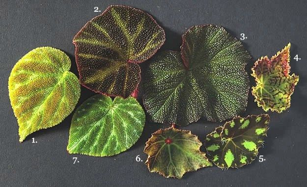 Begonias How To Plant Grow Care For A Begonia Plant Plants