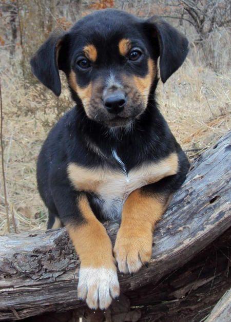 The Adoptable Coonhound Mix Puppies Coonhound Puppy Coonhound Hybrid Dogs