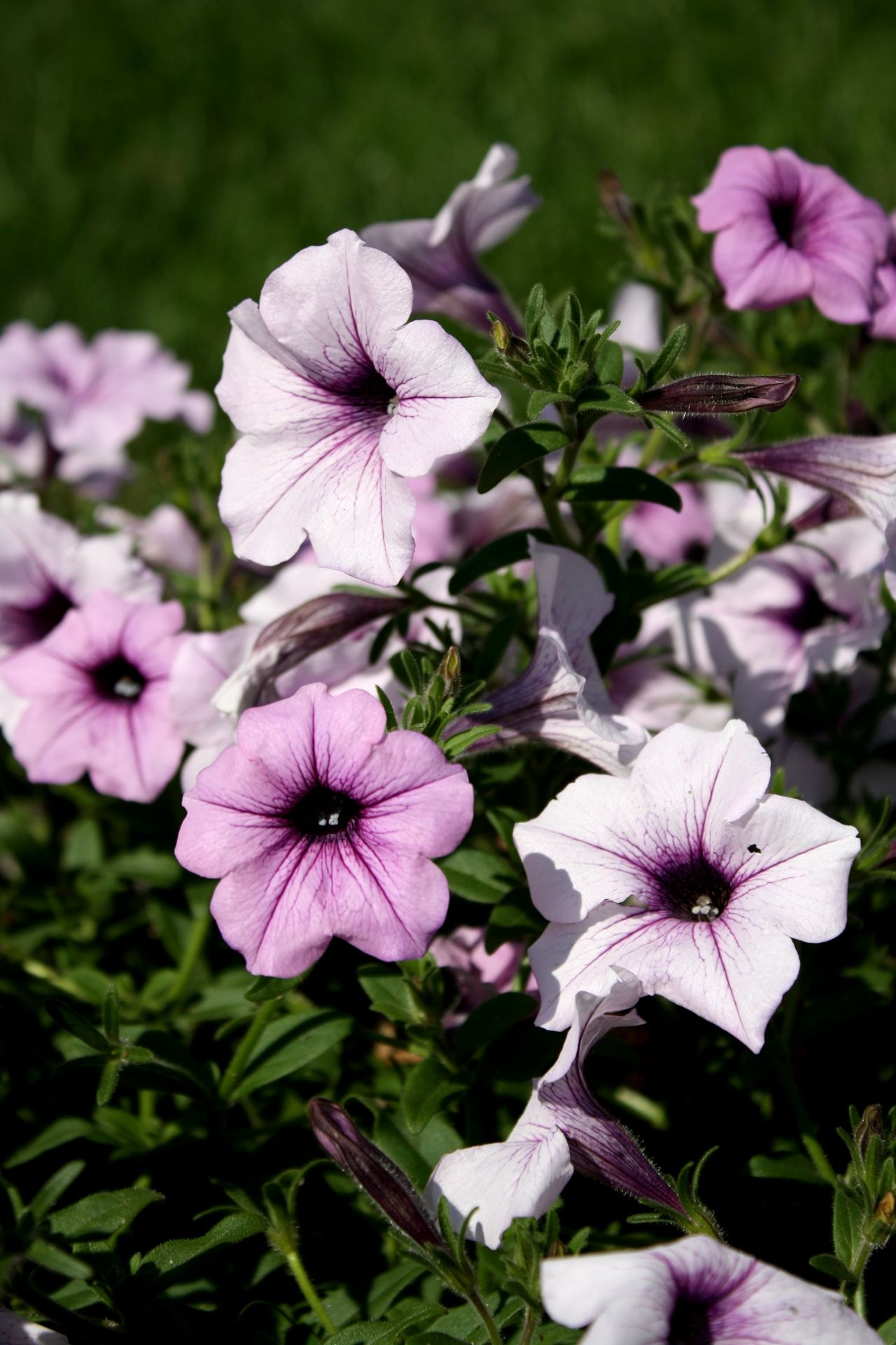 Purple Pink Colored Petunias Beautiful Flowers Pictures Plant Background Plants