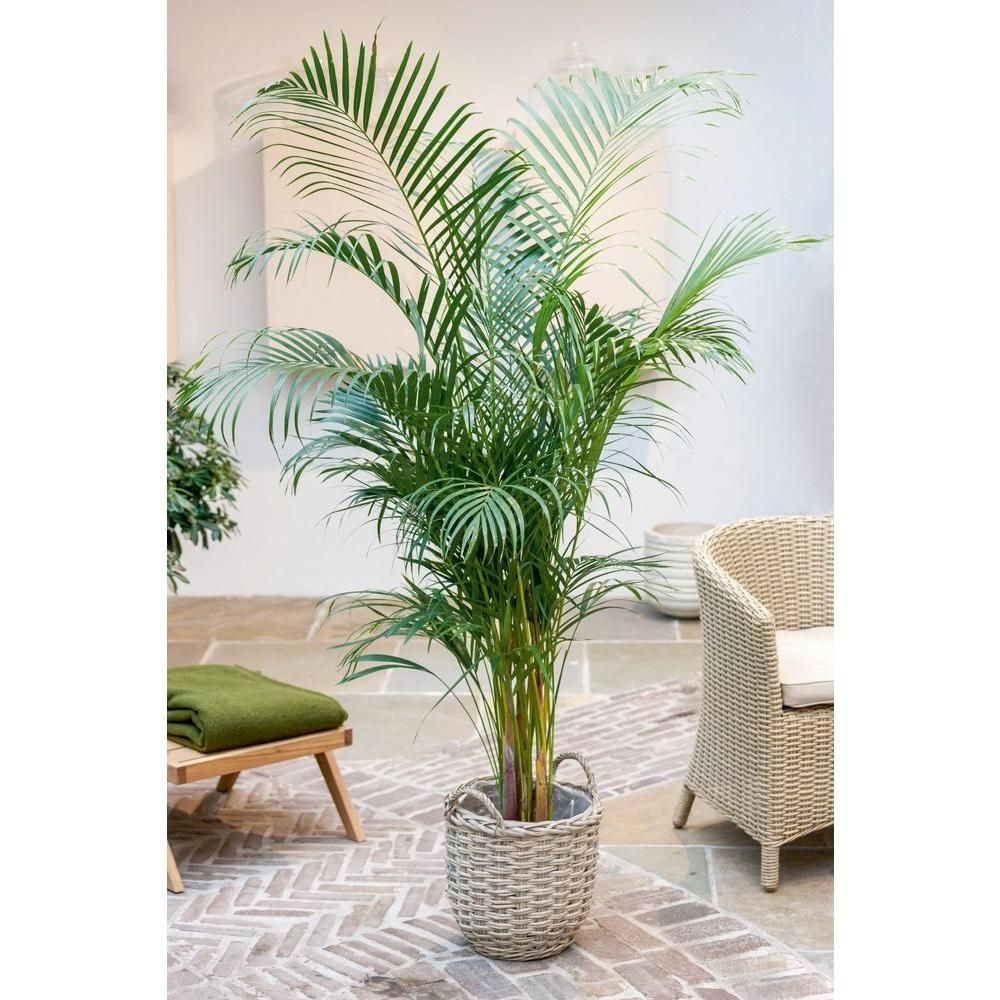 Stupendous Home Depot Costa Farms Areca Palm Grower Pot Plants Home Depot Tropical House Plants Lowes Vs Home Depot House Plants Delray Plants Areca Palm