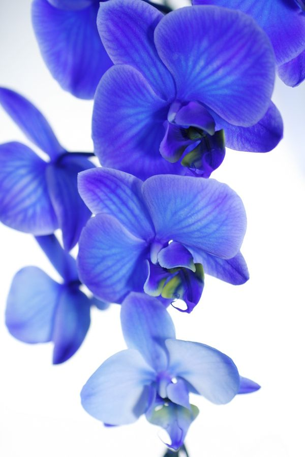 Blue Orchid By Justin Thompson On 500px Blue Orchids Orchids Flower Power