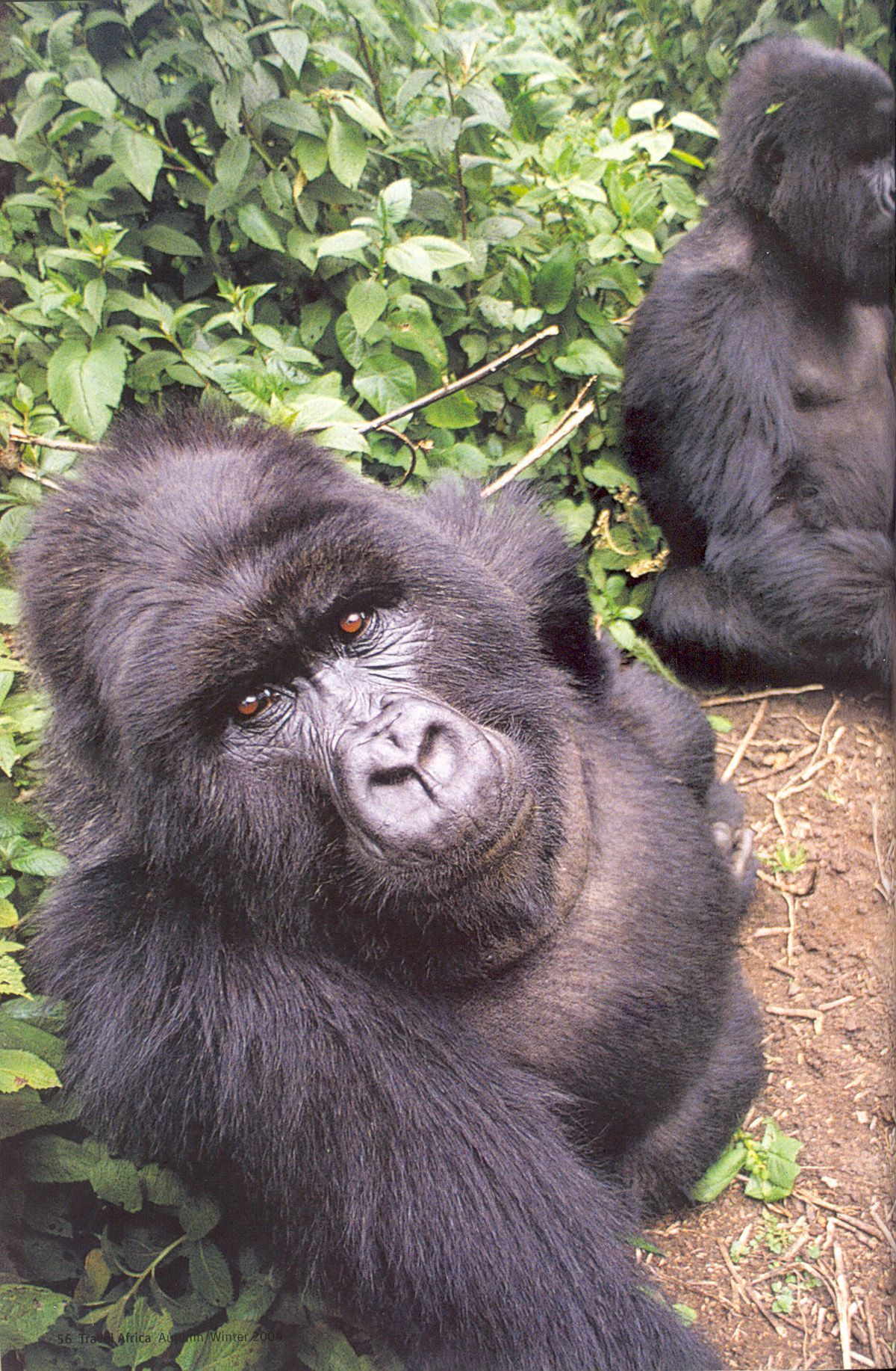 #Uganda A gorilla taking a selfie with our camera